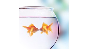 goldfish pic