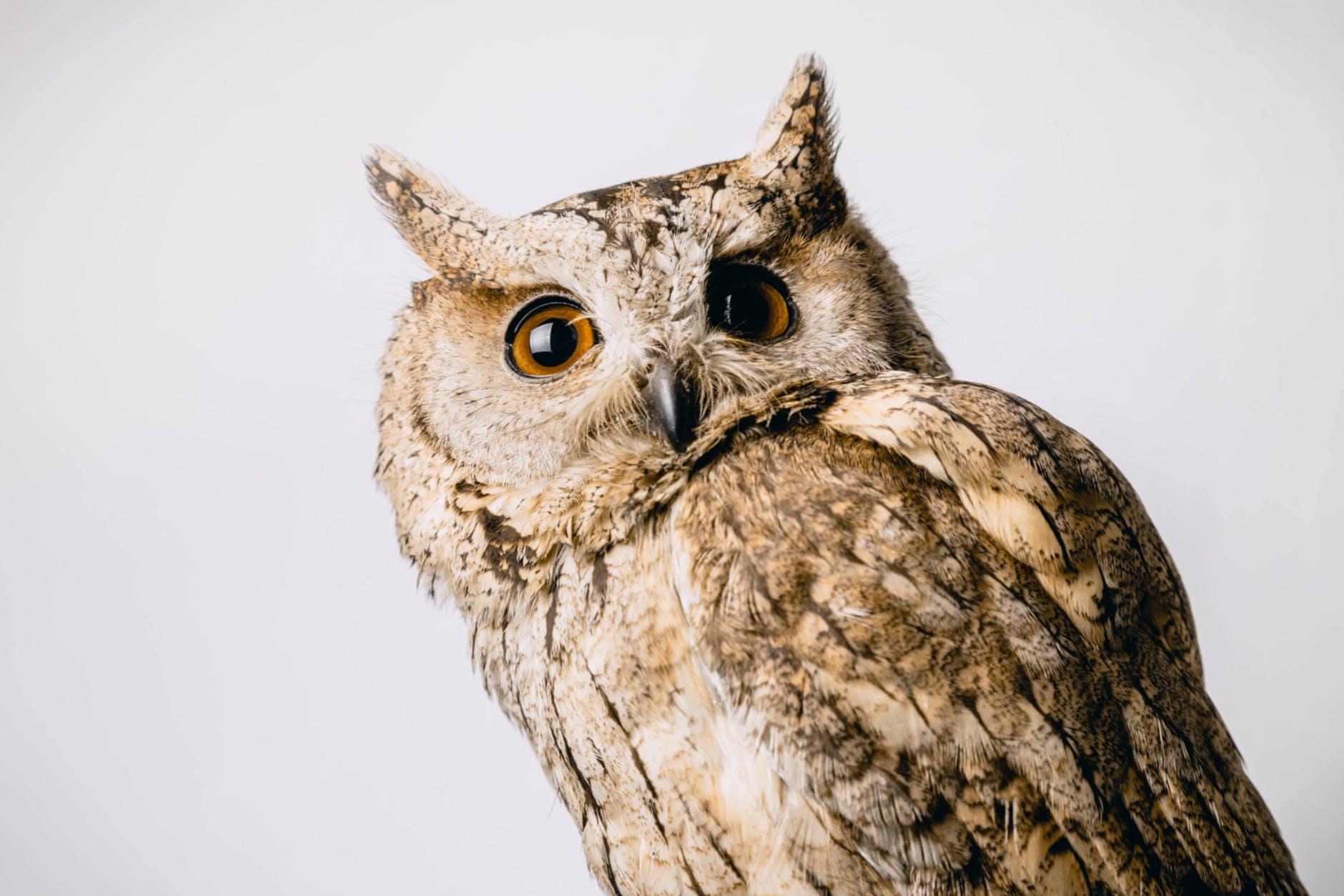 close up photo of owl